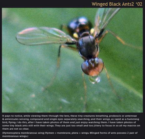 winged black ants2