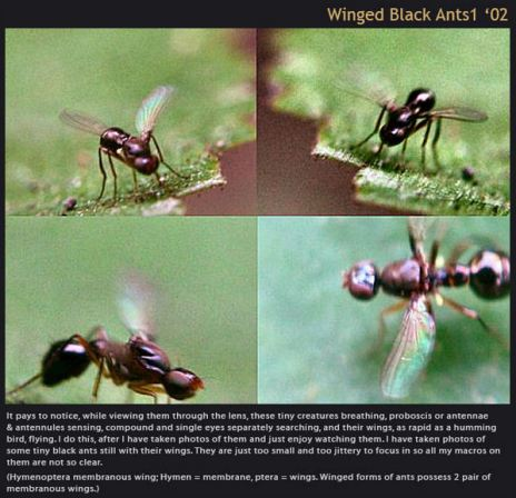 winged black ants2b